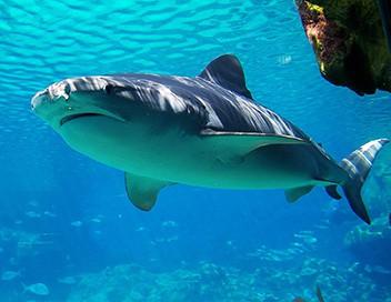 Le sourire du requin-taureau