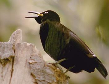 Les ailes sauvages d'Australie E04 La saison des amours