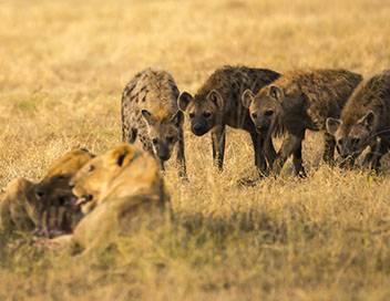 Lions et hyènes, ennemis jurés S01E02 Apprendre