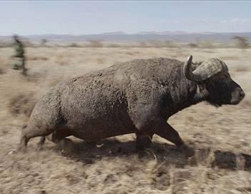 Kenya, chroniques de la vie sauvage Cohabitation humaine et animale difficile