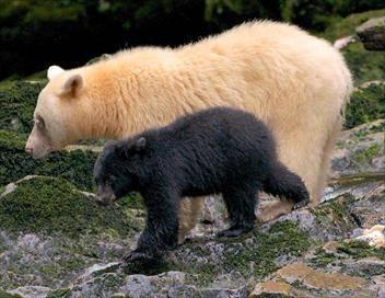 Ourse blanche, oursons noirs, la belle histoire