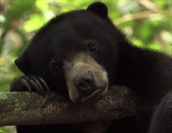Bernie, les péripéties d'un ourson malais