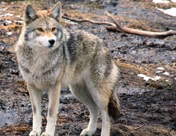 Faune urbaine en danger E10 Le coyote et les jaseurs d'Amérique