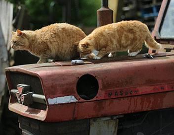 Chats des villes et chats des champs E02 Des fauves miniatures