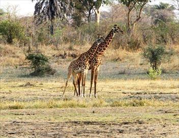 Sur la piste d'une girafe masaï