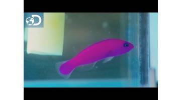 Le poisson fraise : Aquamen