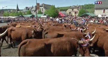 Transhumance : les vaches Salers défilent à Allanche