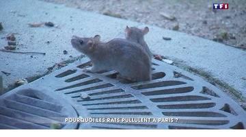 Pourquoi les rats pullulent à Paris ?